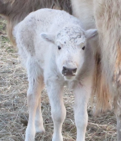 The Sacred White Buffalo Calf, symbol of eternal Peace and Harmony